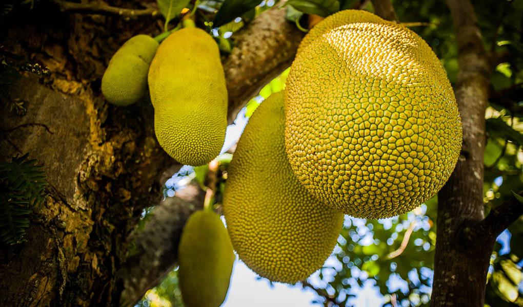 Джекфрут: доказанный супер фрукт